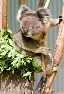 Koala, Australia by Steven Ralser