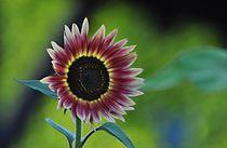 Sonnenblume-bunt