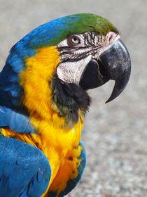 Gelbbrust-Ara, ararauna, Loro, parrot, peroquet von Dagmar Laimgruber
