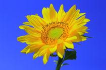 Sonnenblume von Patrick Lohmüller