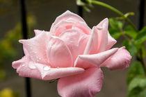Rose-tropfen2