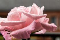 Rose-tropfen3