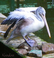 Pelican von Nandan Nagwekar