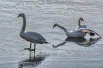 Swan Lake - Slide party  von chrisberger