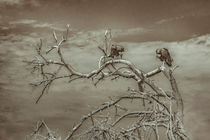 Vultures-at-top-of-leaveless-tree