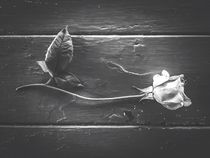 rose with leaves on the wood table in black and white by timla