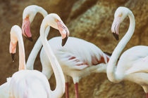 Wild Pink Flamingo Birds In Nature by Radu Bercan
