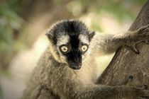 Lemur Portrait On Madagascar Island by Radu Bercan