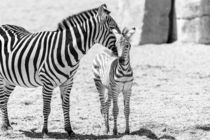Protective Zebra Mother And Calf In African Savanna by Radu Bercan