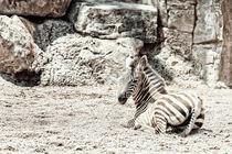 Baby Zebra In African Savanna by Radu Bercan