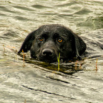 'Labrador - Nelli ' by Chris Berger