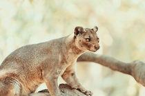 Fossa (Cryptoprocta Ferox) Cat In Madagascar von Radu Bercan
