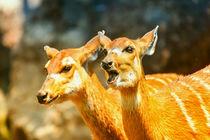 Sitatunga or Marshbuck (Tragelaphus spekii) Antelope In Central Africa by Radu Bercan