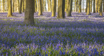 Bluebell Wood by James Rowland