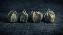 Four Physalis by James Rowland