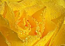 Gelbe-rose-mit-tropfen