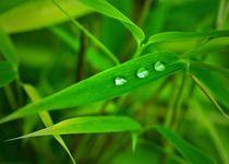 Bambus-mit-wassertropfen