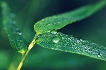 Bambusblatt-mit-wassertropfen