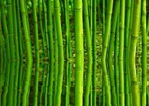 Bambus-mit-wasserspiegelung