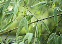 Bambusblatter