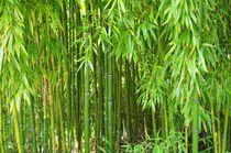 'Bambus' by Gabi Siebenhühner