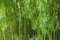 Bambus by Gabi Siebenhühner