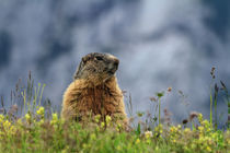 marmot on alpine meadow by Antonio Scarpi