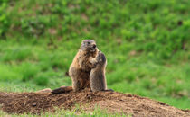 Female marmot with baby by Antonio Scarpi