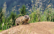 young marmot on alpine meadow von Antonio Scarpi