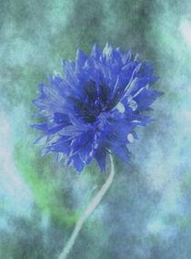 Blauer-kornblume