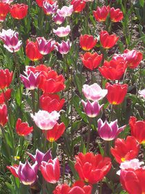 Tulpen von marionata