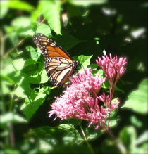 Monarch Butterfly by Sabine Cox