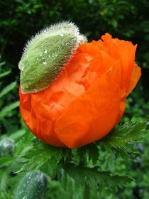 Popping Poppy by Sabine Cox