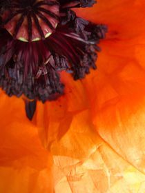 heart of the poppy by Sabine Cox