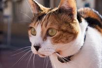 ginger-white cat stare von Jessy Libik