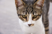 portrait of a young pinto tabby cat von Jessy Libik