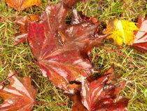 Nasse Ahornblätter im Gras von Antje Püpke
