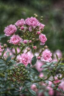 Rosa-roschen
