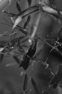 Bw-colibri