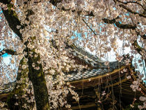 Cherry blossoms at cherry temple von Erik Mugira