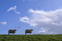 Grazing sheep on a dike by John Stuij