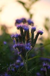 Blühend  in herbstlicher Abendsonne von Simone Marsig