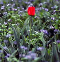 Sf-pier-39-lone-tulip