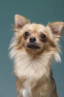 Chihuahua / 1 by Heidi Bollich