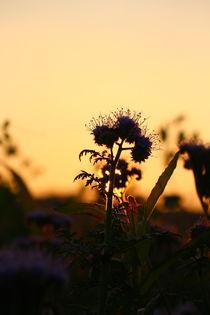 Blühend im herbstlichen Sonnenuntergang von Simone Marsig