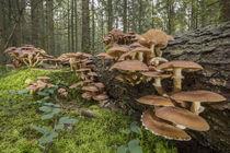 Pilzkolonie am Totbaum   Hallimasch (Armillaria) von Thomas Keller