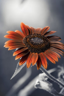 Dark Sunflower von cinema4design