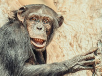 African Chimpanzee In Tree Portrait von Radu Bercan