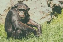 Lonely African Chimpanzee von Radu Bercan