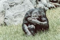 African Chimpanzee Hiding His Face by Radu Bercan